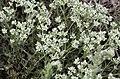 Scleranthus perennis inflorescence (32).jpg