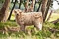 Scottish-cow-staring.jpg