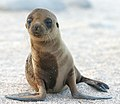Sea Lion Pup.jpg