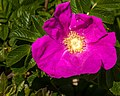 Sea Rose (27624806221).jpg