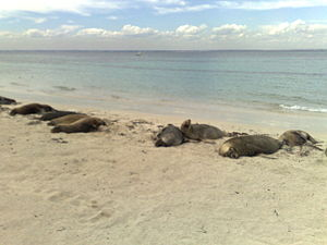 Carnac Island - Sea lions on Carnac Island