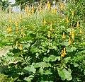 Senna alata (Fabaceae).jpg