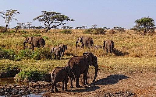 Serengeti-African-Elephants