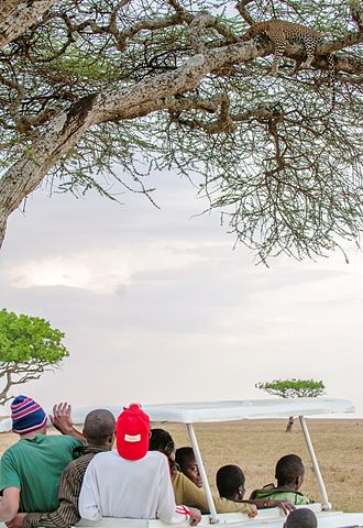 Safari - A safari in the Serengeti National Park; Tourists go right under a roadside tree on which a leopard is resting