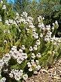 Serruria brownii KirstenboschBotGard09292010E.JPG