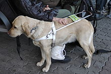 A tan Labrador Retriever guide dog stands wearing a white guide dog harness beside a group of humans sitting on a bench outdoors,