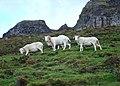 Sheep, Binevanagh Nature Reserve - geograph.org.uk - 1553528.jpg