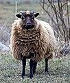 Shetland sheep moorit.jpg