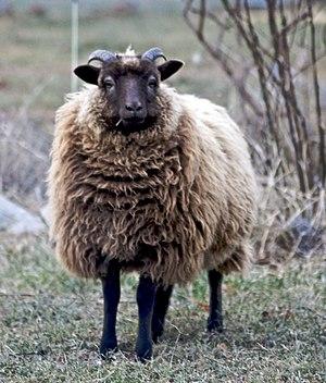 "Shetland sheep - A Shetland ram lamb with the common ""Moorit"" brown color"