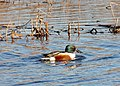 Shoveler Duck at RSPB Leighton Moss - geograph.org.uk - 638479.jpg
