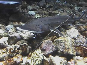 Description de l'image Shovelnose Sturgeon 01-19-08 1241.jpg.