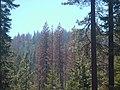 Sierra National Forest, Tree mortality (25049599408).jpg