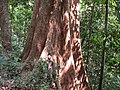 Silk cotton tree, Bhagamandla Range AJT Johnsingh.JPG