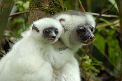 A primate with silky white fur clings to a branch while an infant clings to its back.