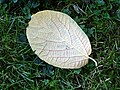 Sinowilsonia henryi-Jardin des plantes 05.JPG