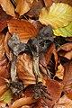 Slate Grey Saddle - Helvella lacunosa (37798693024).jpg