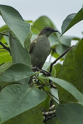 Slender-billed Greenbul - Ghana S4E3142 (17050561522).jpg