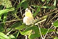 Small heath (NH) (11224848183).jpg
