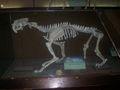 Smilodon fosil Museo de La Plata.jpg