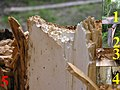 Snag tree fomitopsis pinicola white rot on picea 5 beentree.jpg