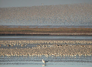 Red knot - Large flocks of C. c. islandica winter in the coastal marshes of Britain, along with other waders. The Wash, Norfolk