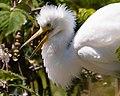 Snowy Egret (35426206365).jpg