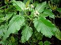 Solanum vespertillo 1c.JPG