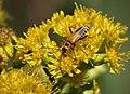 Soldier beetle (1281797688).jpg