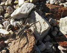 Solfugid in veld near Uniondale (Western Cape) 1599.jpg
