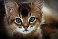 Somali cat.jpg