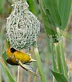 Southern Masked Weaver (Ploceus velatus) male on nest ... (31918873434).jpg