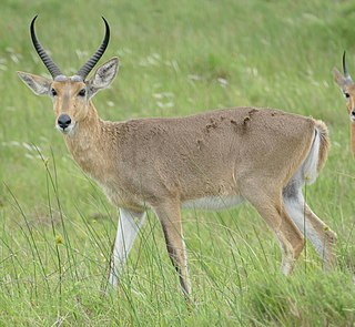 Southern reedbuck species of mammal