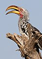 Southern Yellow-billed Hornbill, Tockus leucomelas at Mapungubwe National Park, Limpopo, South Africa (17683135193).jpg