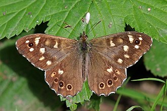 Speckled wood (butterfly) - Male P. a. tircis