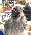 Splash Silkie Chicken.jpg