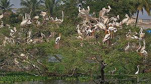 Spot-billed pelican - Nesting along with painted storks