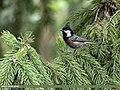 Spot-winged Tit (Periparus melanolophus) (47062056572).jpg