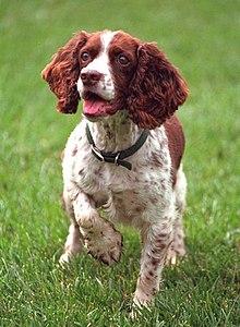 スプリンガー スパニエル イングリッシュ イングリッシュスプリンガースパニエルってどんな犬?大きさや性格、病気などをご紹介