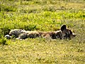 Spotted Hyena (6693807803).jpg