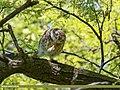 Spotted Owlet (Athene brama) (39905571100).jpg