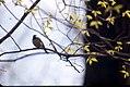 Spring - Black Capped Chickadee.jpg
