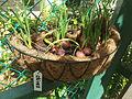 Spring Onion Singapore.jpg