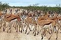Springbok (Antidorcas marsupialis hofmeyri) in the road.jpg
