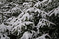 Spruces and snow.JPG