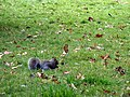 Squirrel (7976974977).jpg