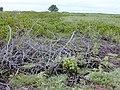 Starr-010520-0052-Verbesina encelioides-border with naupaka and sicyos annual dieback-Inland-Kure Atoll (24424441962).jpg