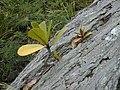 Starr-020620-0075-Clusia rosea-seedlings epiphytic growth-Kapalua-Maui (24549985985).jpg