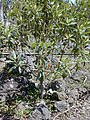 Starr-030222-0041-Myoporum sandwicense-planted-Auwahi-Maui (23991839454).jpg