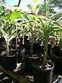 Starr-050303-4829-Musa x paradisiaca-Maoli Maia Manini Koae variegated in pots-Maui Nui Botanical Garden-Maui (24112951733).jpg