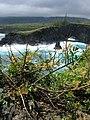 Starr-050406-6129-Schinus terebinthifolius-habit-Moku Mana-Maui (24651274881).jpg